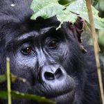 Female Bwindi Gorilla