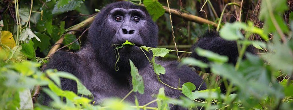 Rushaga Gorilla Group