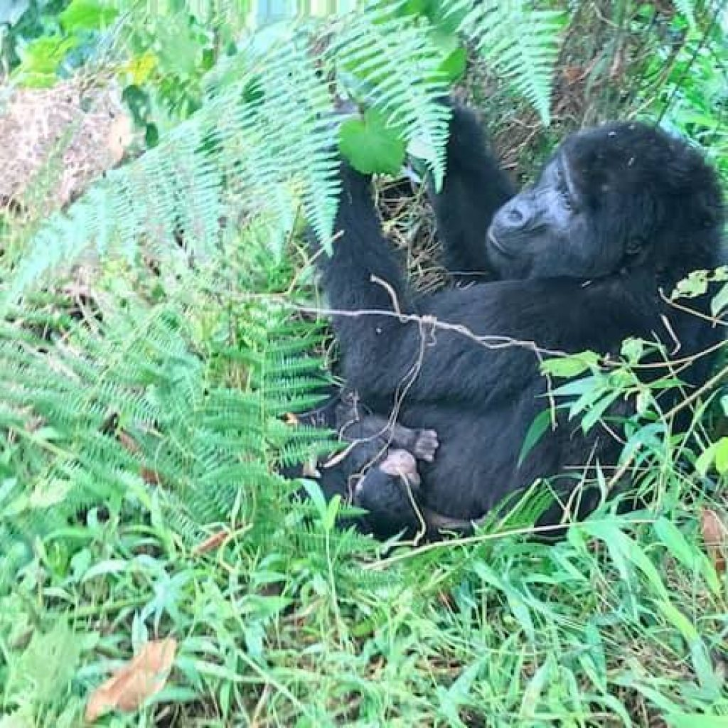 Businza and her Baby Gorilla