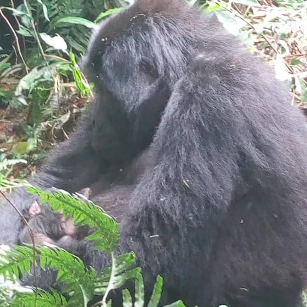Baby Gorilla in Mubare Group