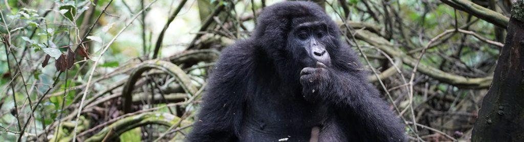 Bwindi Gorilla in the Woods
