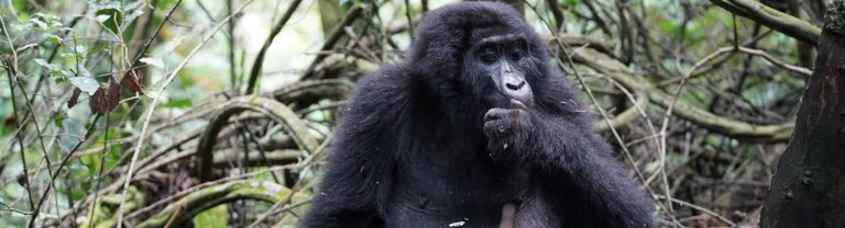 Bwindi Gorilla in the Woods