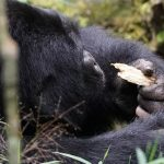 Bwindi Gorilla Relaxing