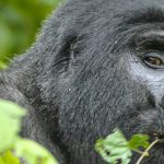 Gorilla Habituation