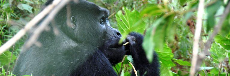 Nkuringo Gorilla