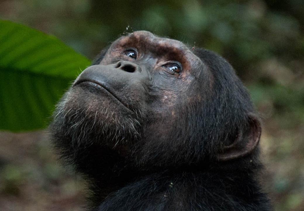 Bwindi Chimpanzees
