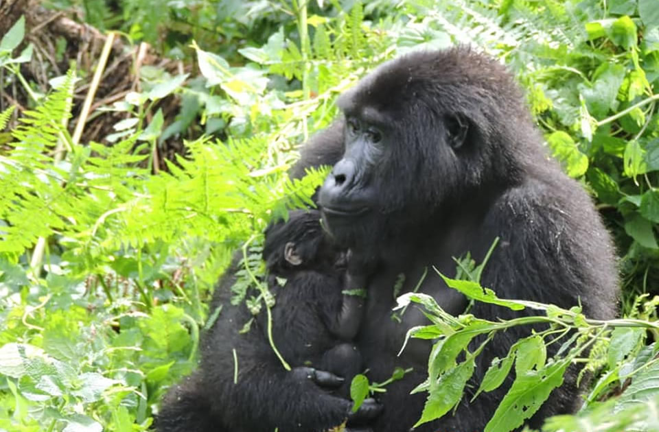 Nshongi Baby Gorilla and Mother