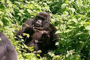 Kibande Gorilla and Baby