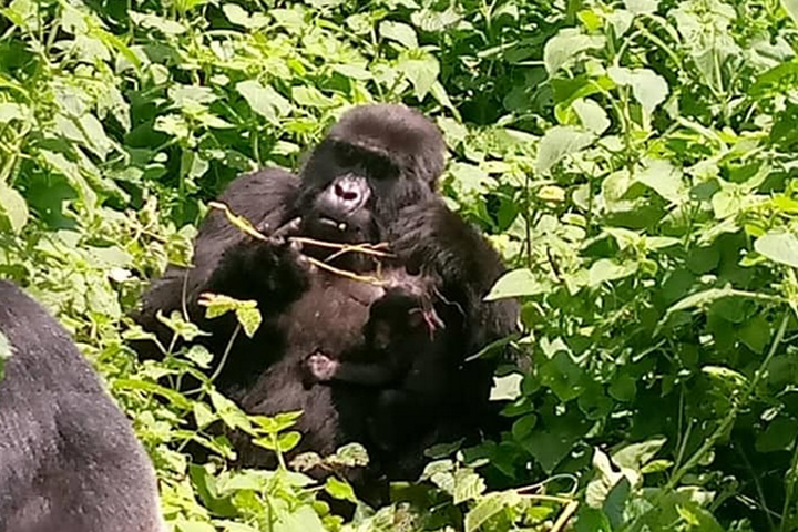 Kibande Gorilla and Baby