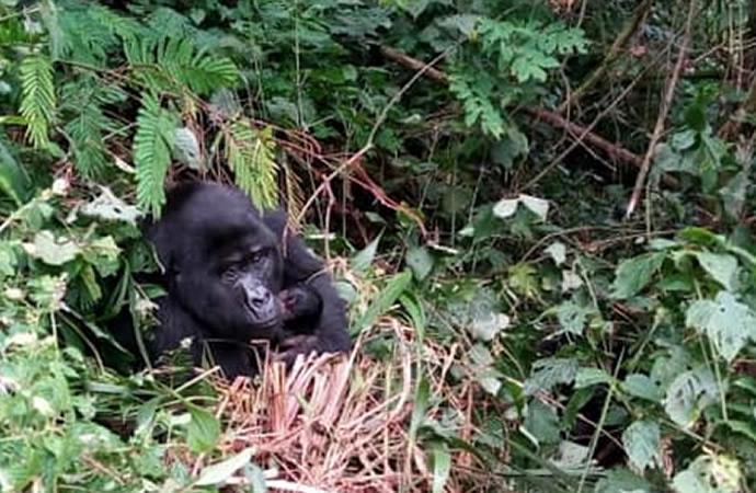 Mubare Gorilla Baby