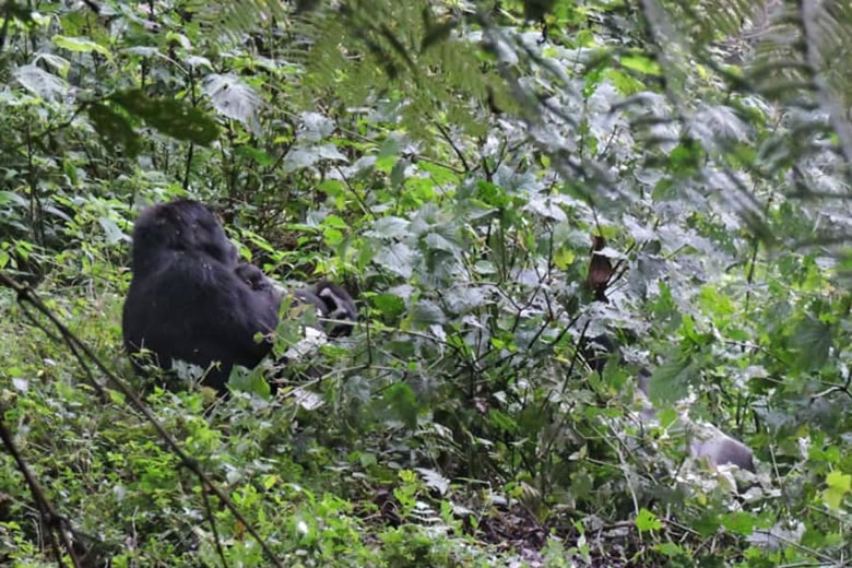 Ndikahe Baby Gorilla