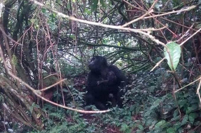 Oruzongo Gorilla Baby