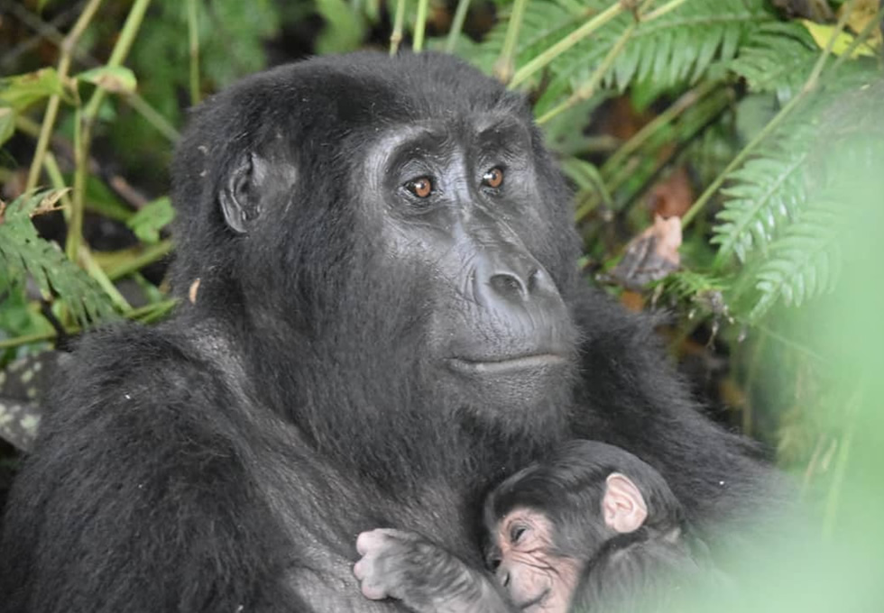 Rushegura Gorilla Baby