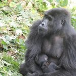 Rushegura Baby Gorilla