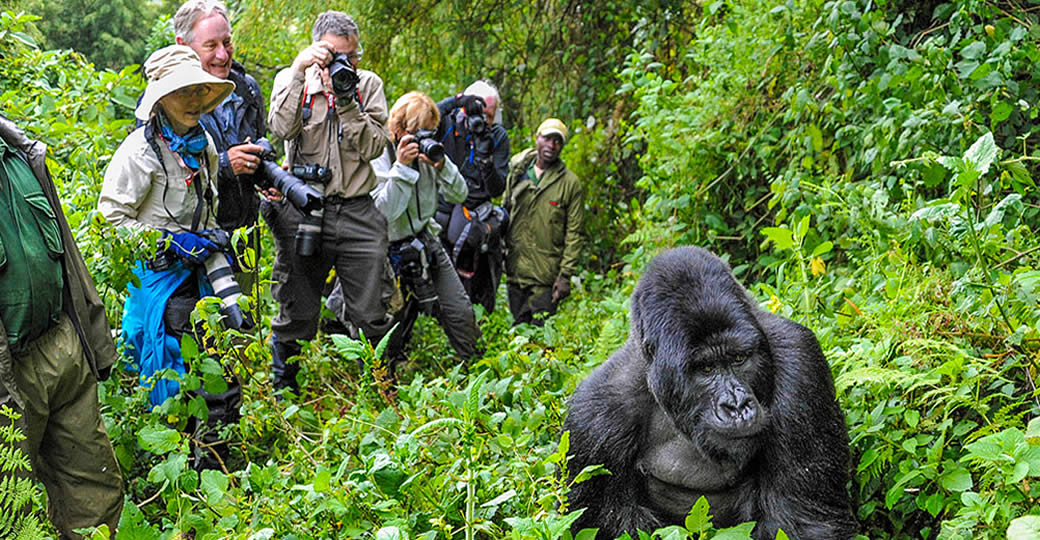 Gorilla Trekking Success Rate