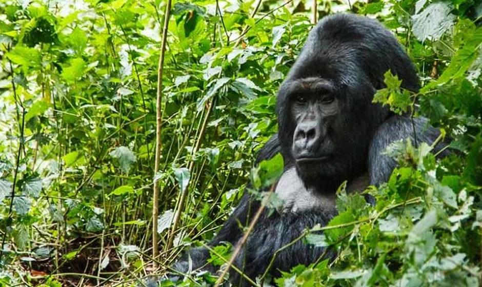Katwe Gorilla Family