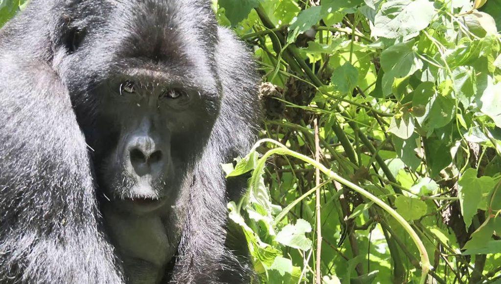 Mucunguzi Gorilla Family