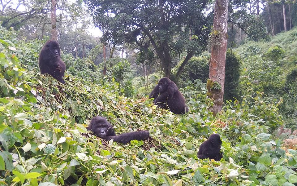 Mukiza Gorilla Family